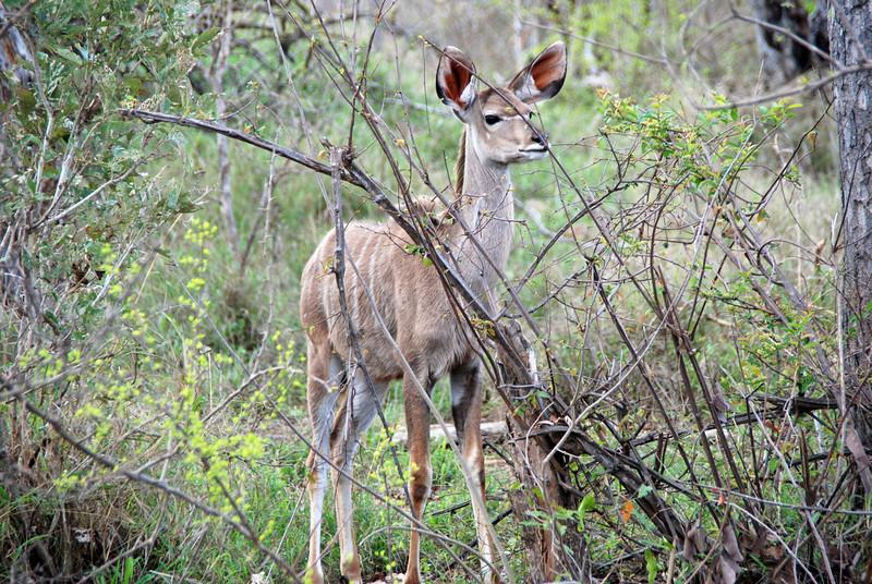 Kudu Female, Inyati Game Reserve