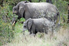 Elephant and Calf, Inyati Game Reserve