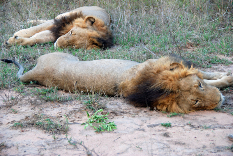 Lazy Lions, Inyati Game Reserve