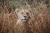 Lioness, Inyati Game Reserve