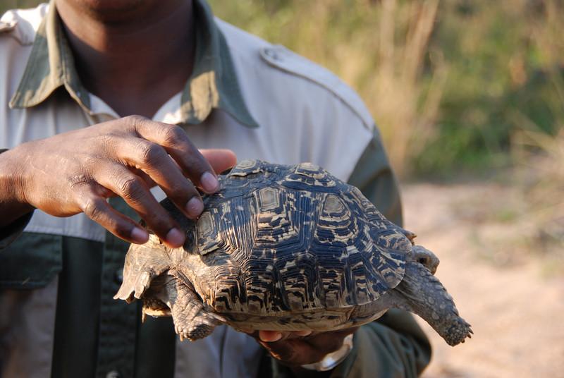 Tortoise, Inyati Game Reserve