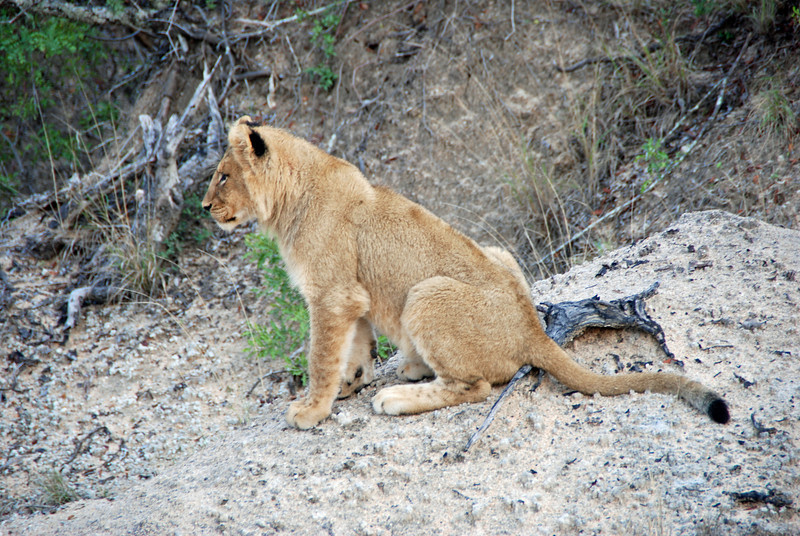 Lion Cub, Inyati Game Reserve