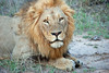 King of the Jungle, Inyati Game Reserve