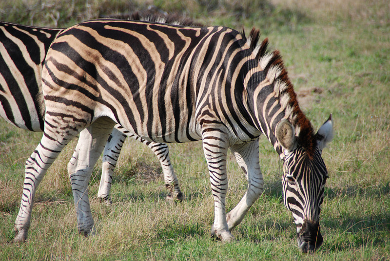 Grazing Zebra, Inyati Game Reserve