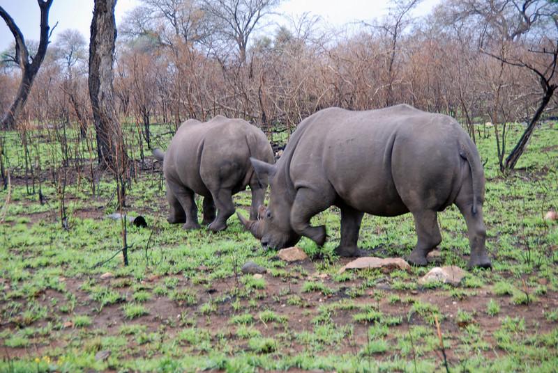 Rhinoceros, Kruger National Park