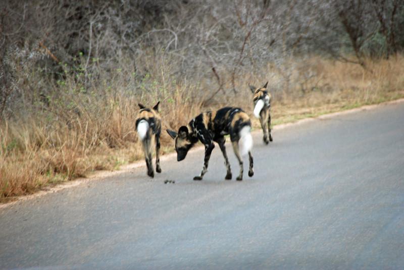 Pack of Wild Dogs, Kruger National Park