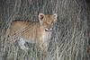 Lion Cub, Inyati, Game Reserve