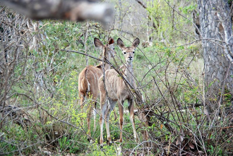 Kudu Females, Inyati Game Reserve