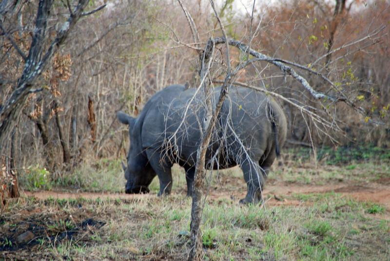 Rhinoceros, Inyati Game Reserve