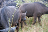 Buffalo Baby, Inyati Game Reserve