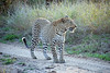 Leopartd, Inyati Game Reserve