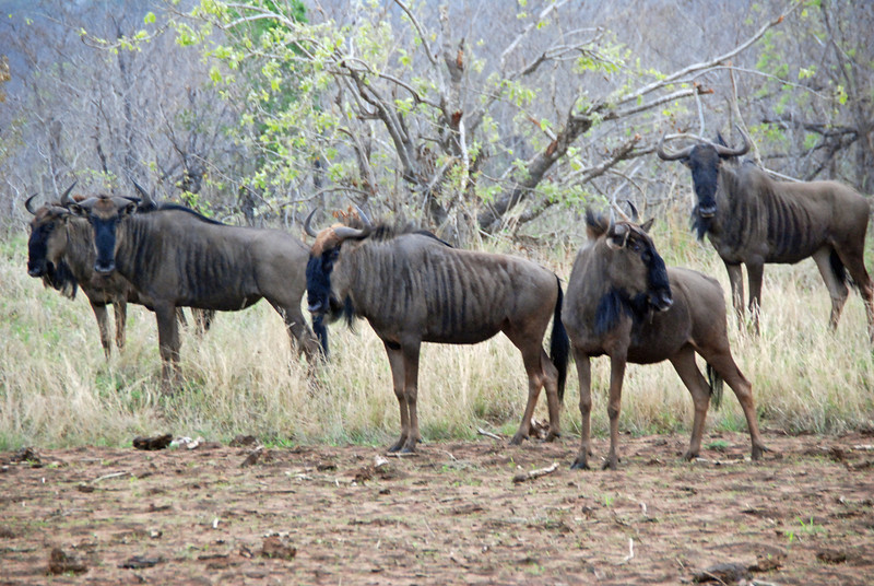 Wildebeest, Inyati Game Reserve