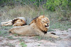 Lions, Inyati Game Reserve
