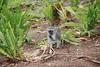 Vervet Monkey, Inyati Game Reserve