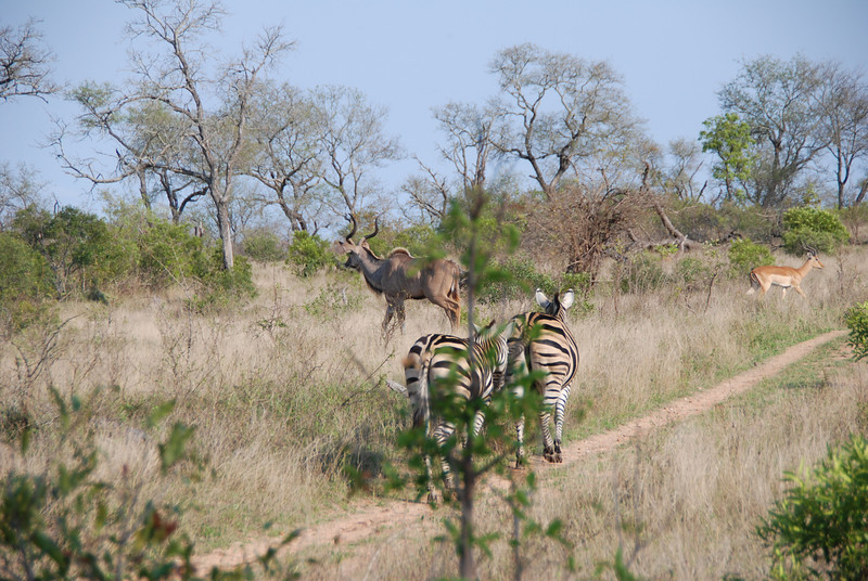 Zebra, Male Kudu and Impala, Inyati Game Reserve