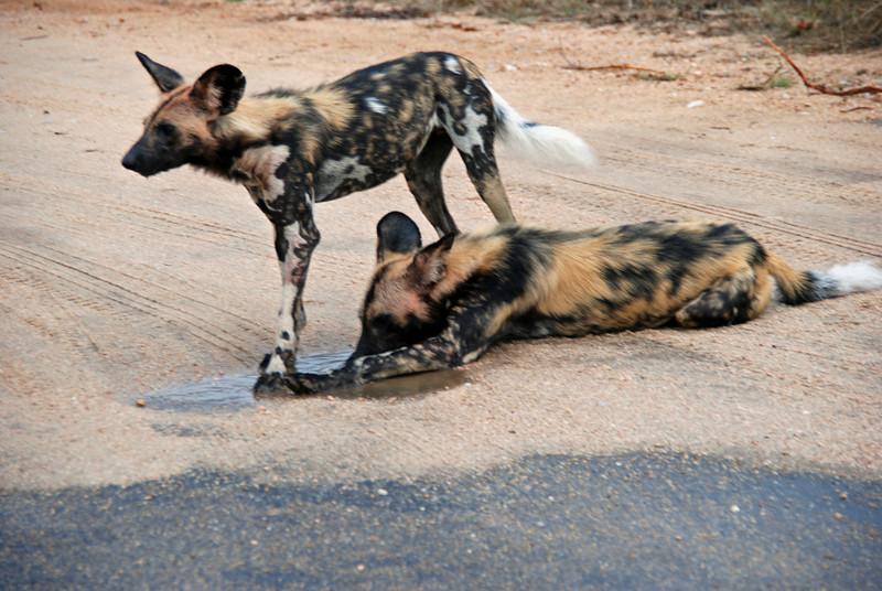 Wild Dogs, Kruger National Park