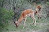 Impala, Inyati Game Reserve