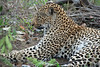 Leopard, Inyati Game Reserve