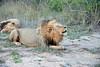 Lion Roaring, Inyati Game Reserve