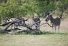 Zebra Grazing, Inyati Game Reserve