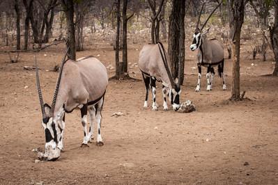 Oryx Trio
