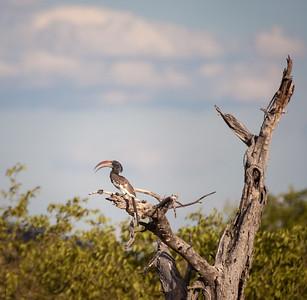 Monteiro's Hornbill