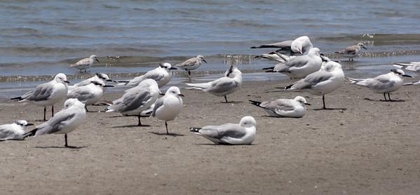 Hartlaub's Gull, Sandwich Tern