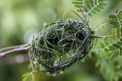 Masked Weaver nest