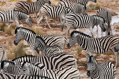 Etosha National Park, Namibia A herd of Plains Zebras in Etosha National Park.
