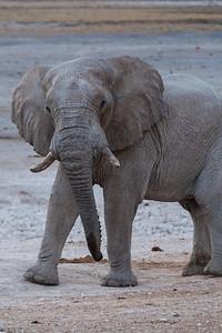 Etosha National Park, Namibia An African Elephant in Etosha National Park.