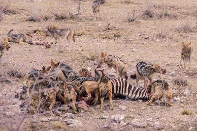 Etosha National Park, Namibia Jackals have a feeding frenzy after a lion kill in Etosha National Park.