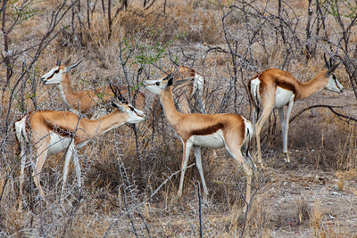 Etosha National Park, Namibia A small herd of Springbok in Etosha National Park.