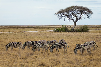 Etosha National Park, Namibia A herd of Plains Zebras graze in Etosha National Park.