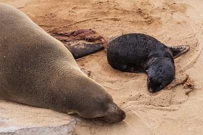 Cape Cross, Namibia A mother Cape Fur Seal has just given birth to her pup at a seal colony at Cape Cross.