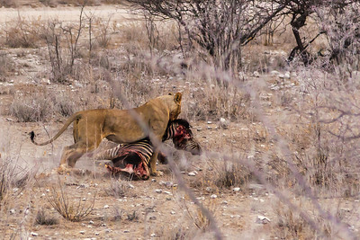 Etosha National Park, Namibia The lioness carries the heavy zebra carcass in Etosha National Park.