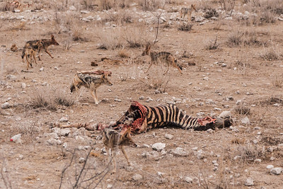 Etosha National Park, Namibia As the lioness returns for her kill, the jackals abandon the feast in Etosha National Park.