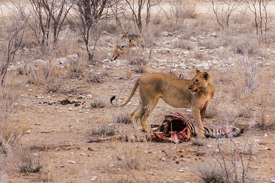 Etosha National Park, Namibia The lioness stands guard against the nearby jackals in Etosha National Park.