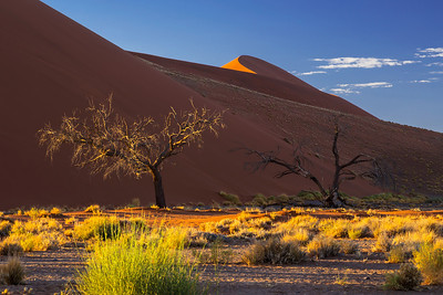 Namib Desert, Namibia Trees in the morning light at the foot of Dune 45.