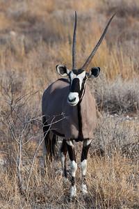 Etosha National Park, Namibia A Gemsbok (Oryx) in Etosha National Park.