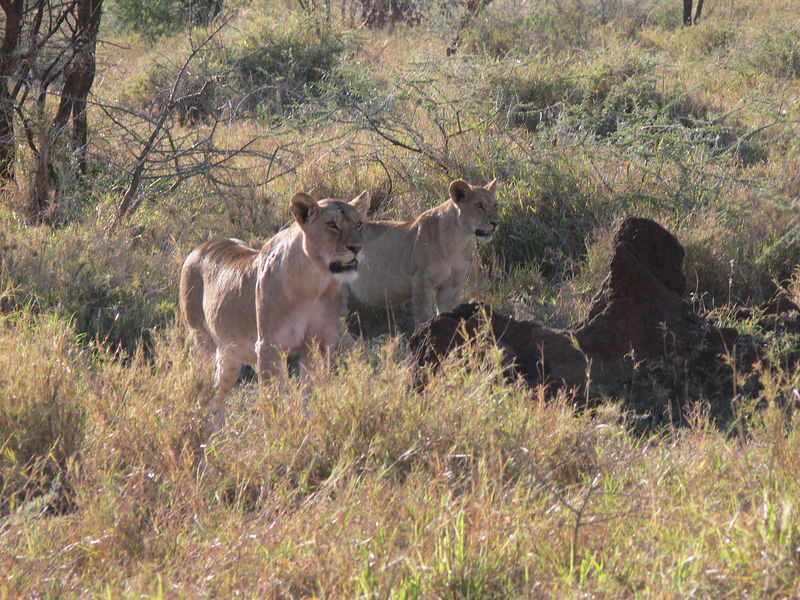 After a night of lions in the campsite, we came across this pride of at least 18 lions first thing in the morning.