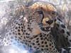 """our """"cheetah"""""""