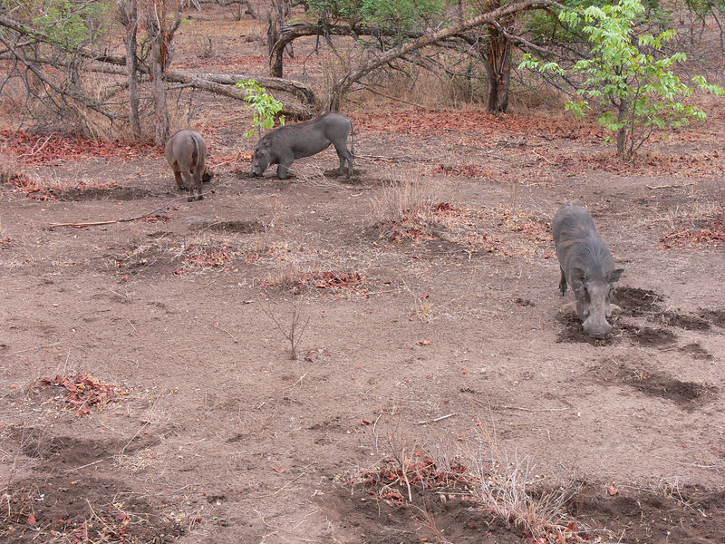 warthogs kneel down while eating
