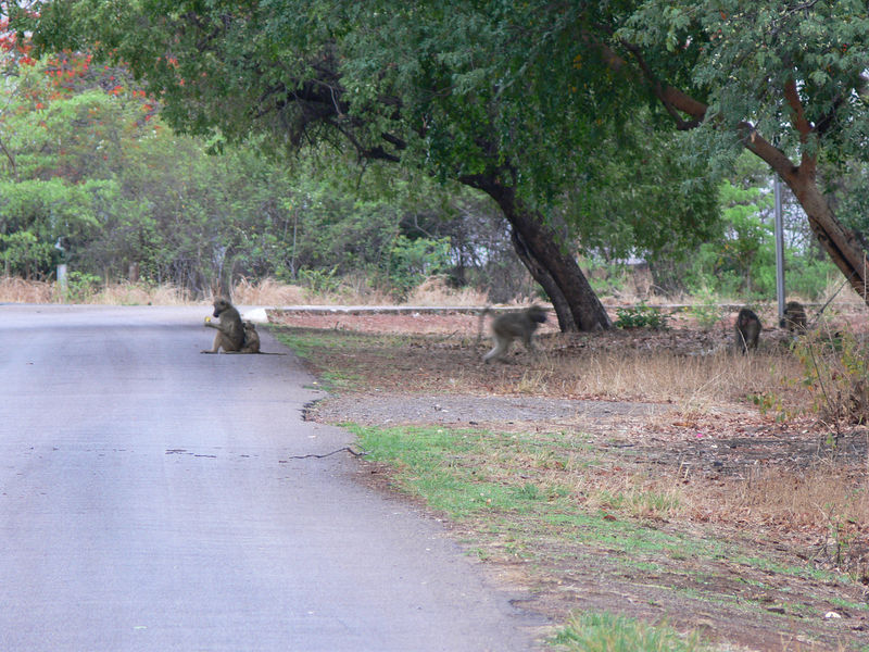 baboons in the street across from the campsite in town