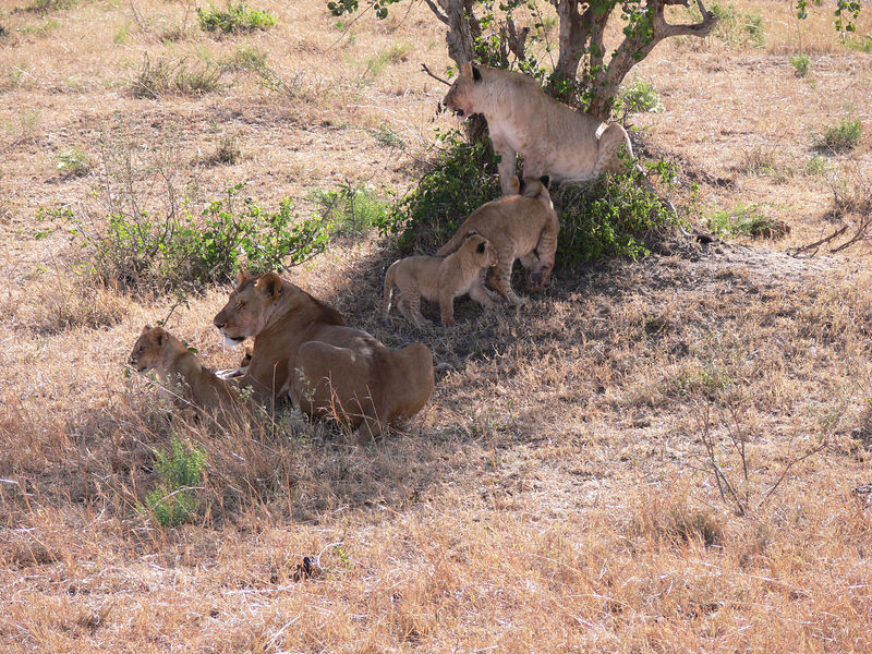 We came across these lioness and their cubs with their recent kill a few feet away.