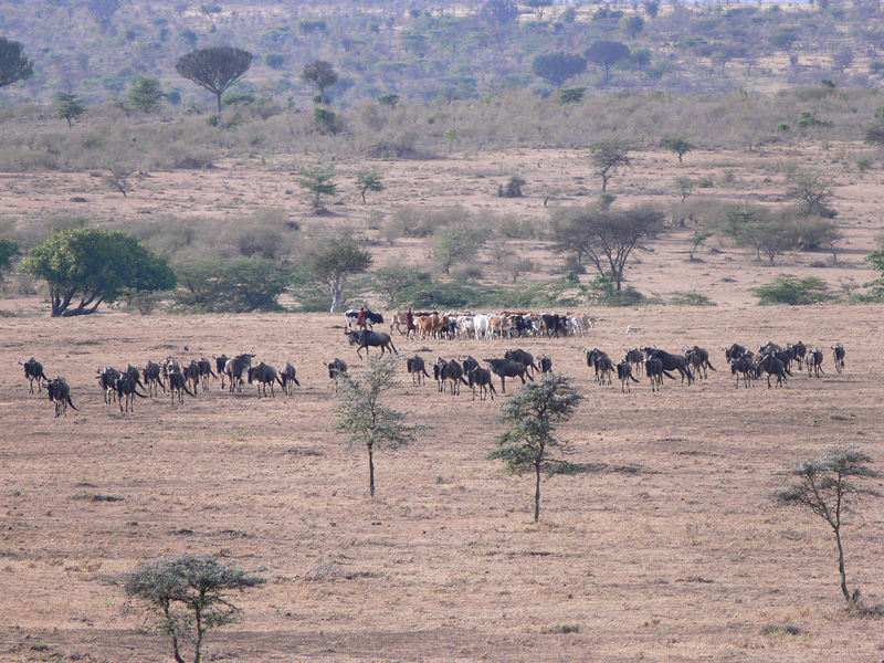 Wildebeest and Maasi cattle.  The Maasi Mara isn't a National Park, but a Reserve - this means that the Maasi are able to graze their cattle in the area.