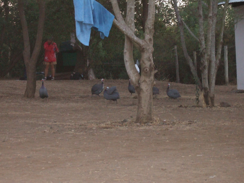 Guinea fowl in the campground.  The dogs - including the 3-legged one - enjoyed chasing them around the campsite.