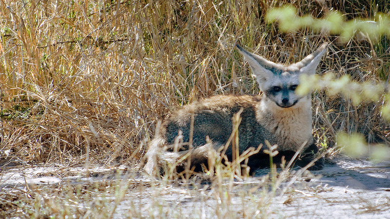 Another rare find was a pair of bat-eared foxes.