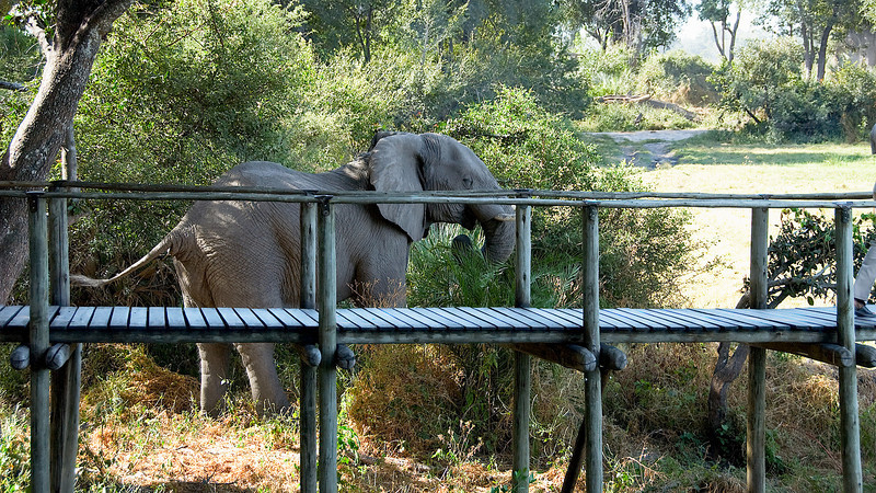 An elephant who stopped to graze beside the camp walkway.