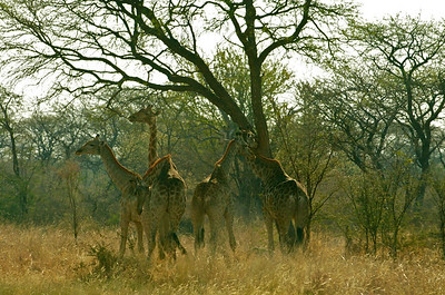 A stand of giraffe alongside the road