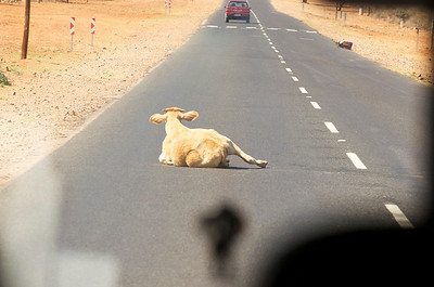 Injured cow on the road